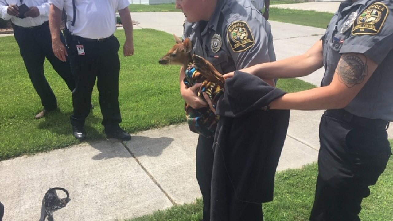 Fawn rescued from storm drain in Suffolk