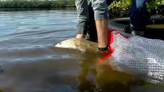 redfish-repopulation-after-red-tide.png