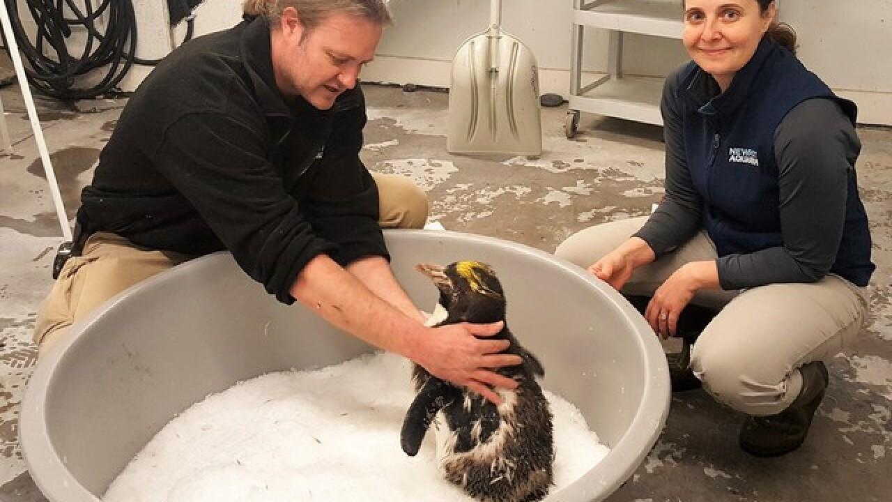 Newport Aquarium penguin fights toward recovery