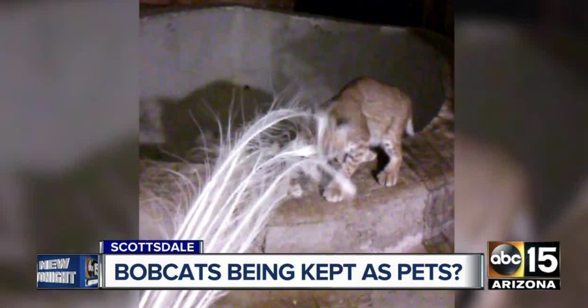 Woman claims Scottsdale family is keeping bobcats as pets