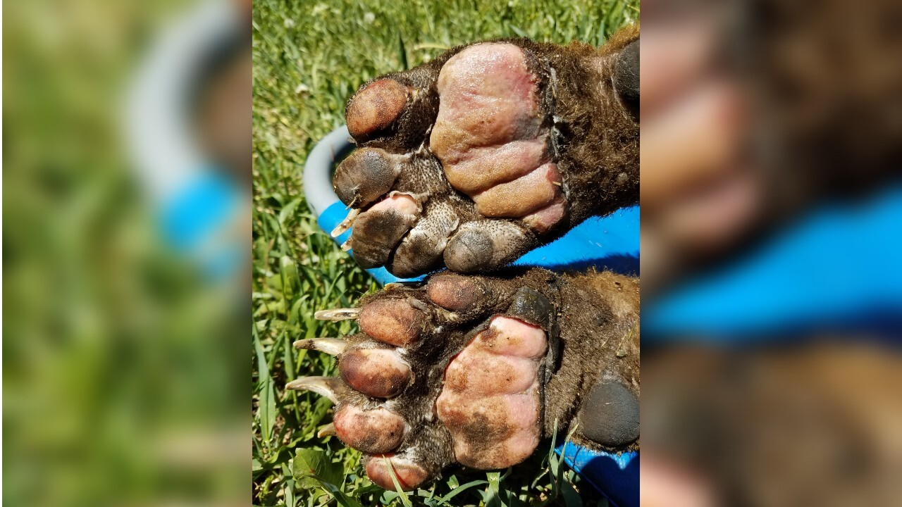 Bear rescued from East Canyon Fire, burnt paws