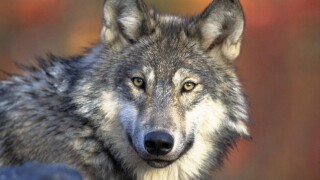 gray wolf, wolf hunting