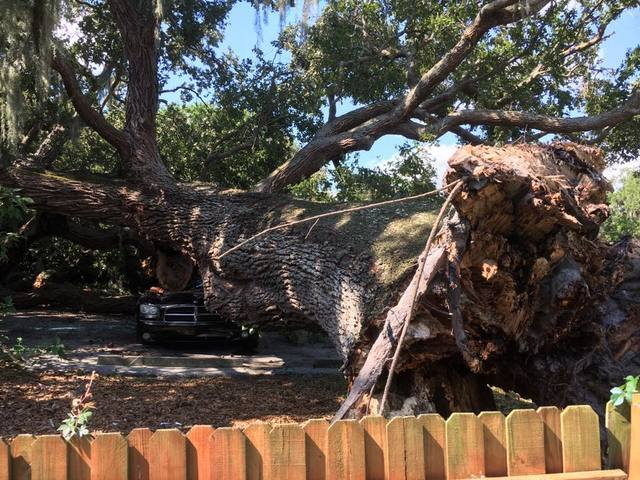 PHOTOS: Massive tree falls on home, car in Clearwater