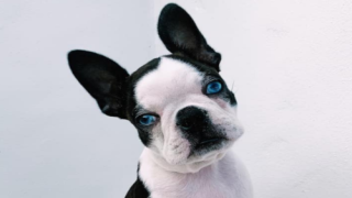 Boston Terrier Was Finally Adopted After Being Passed Over For Her Rare Blue Eyes