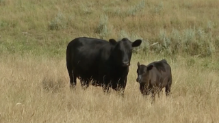 Montana Ag Network: May 24th Report – Food and agribusiness merger moratorium bills, beef checkoff lawsuit