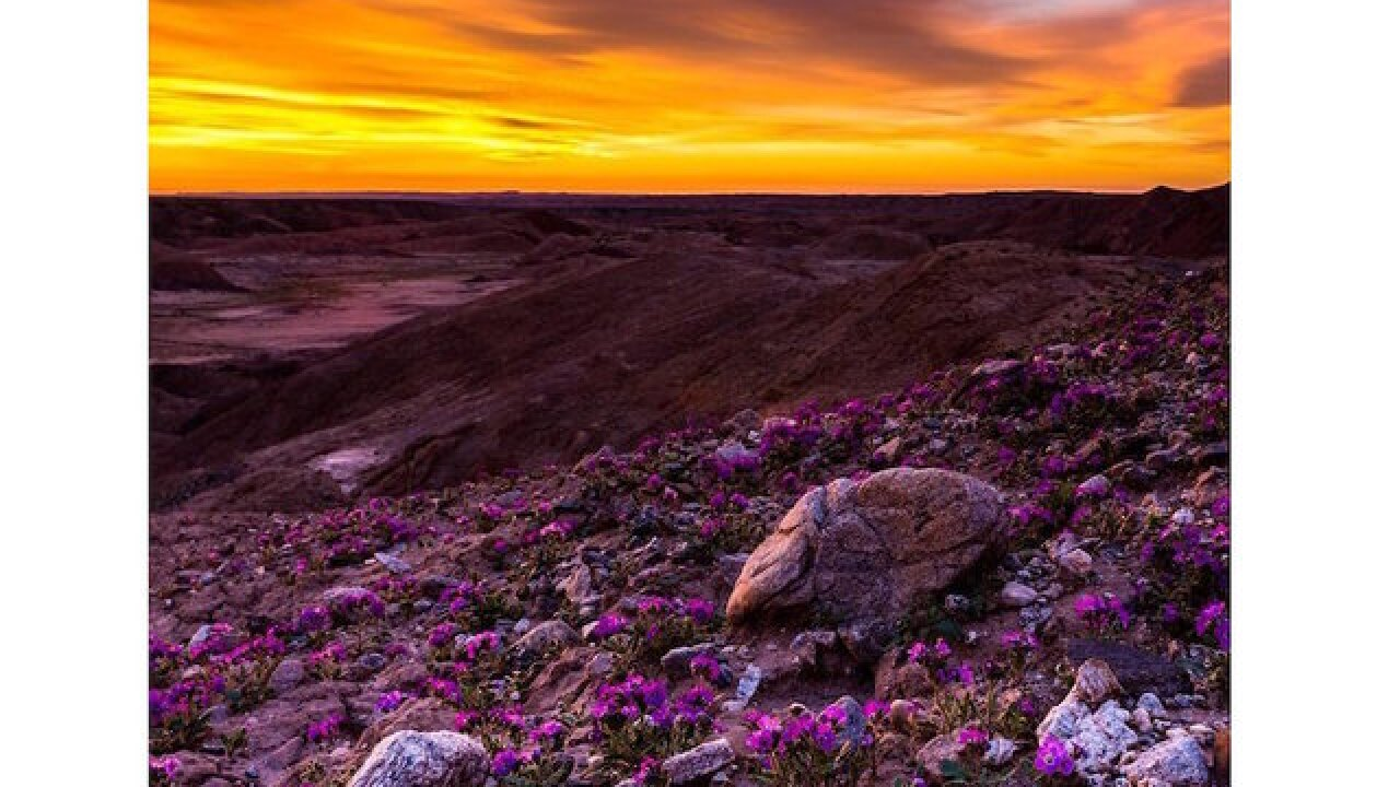 California desert's wildflower 'super bloom' delights nature lovers