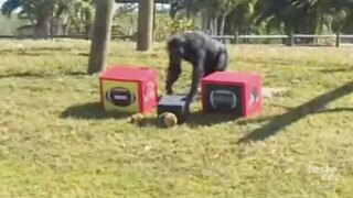 Chimpanzees pick winner for Super Bowl 55 in Loxahatchee.