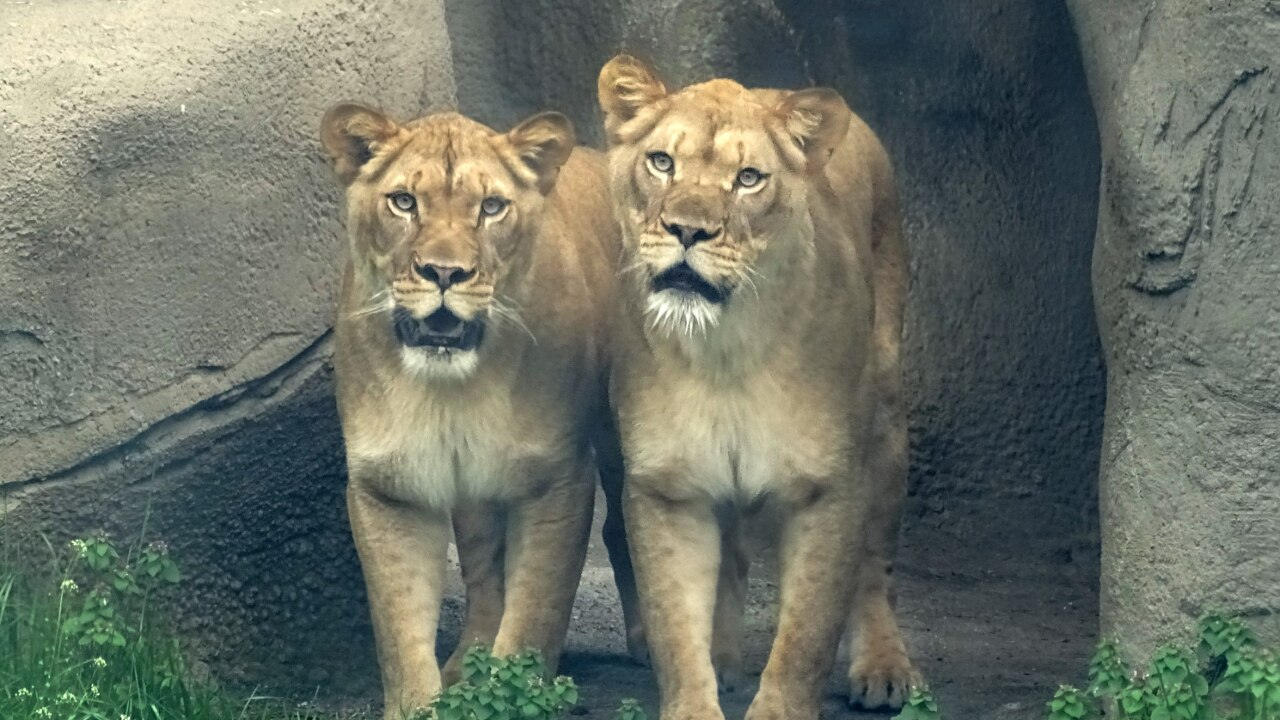 Detroit Zoo welcomes two African lions