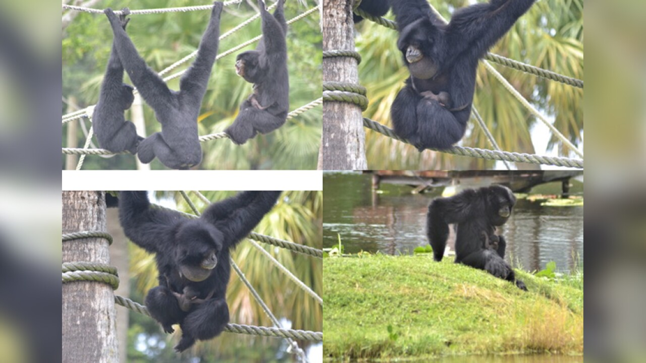wptv-Siamang-gibbons-baby.jpg