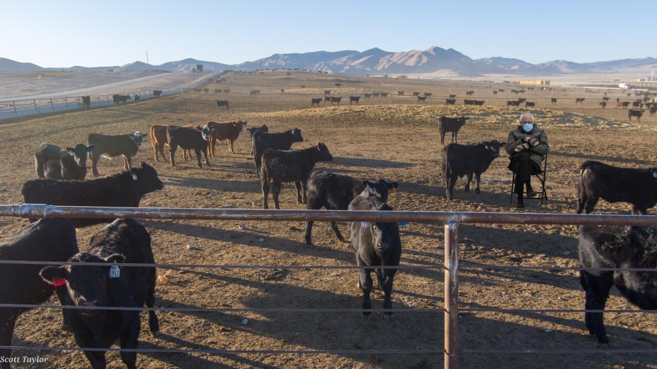 Bernie Cows