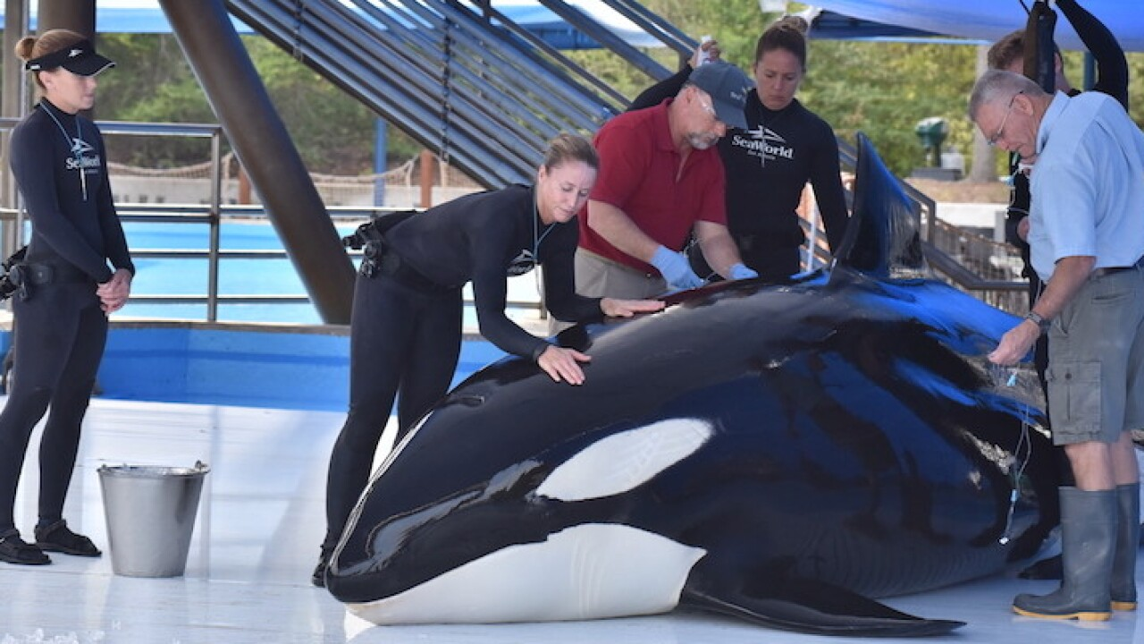 SeaWorld killer whale dies at San Antonio park