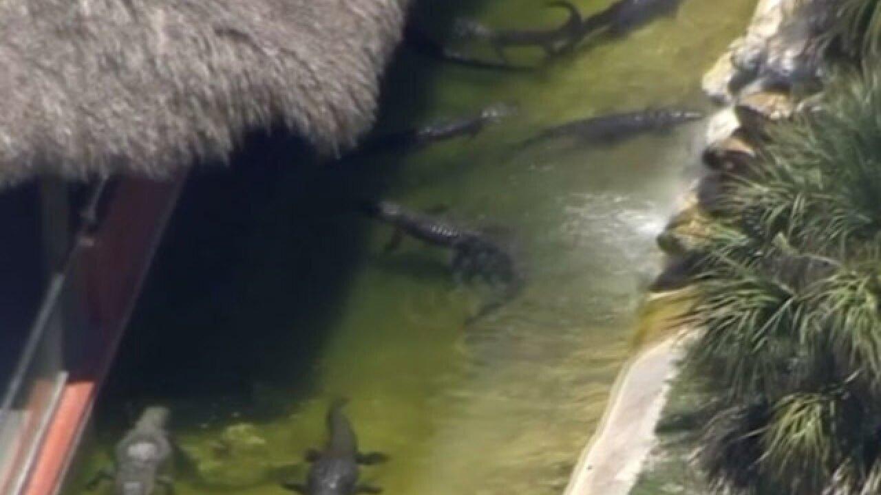 Wrestler bitten by alligator at Miccosukee Indian Village in Miami-Dade County