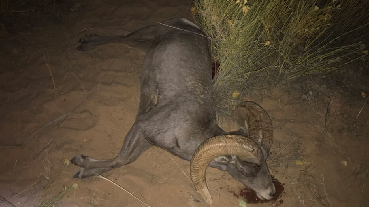 Wildlife officials ask for help identifying poacher after bighorn left to waste in Kane County