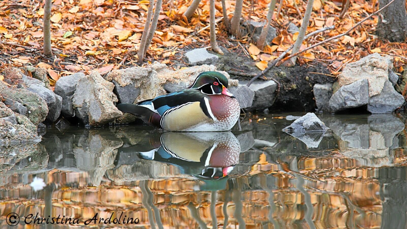 2Male Duck Christina Ardolino.jpg