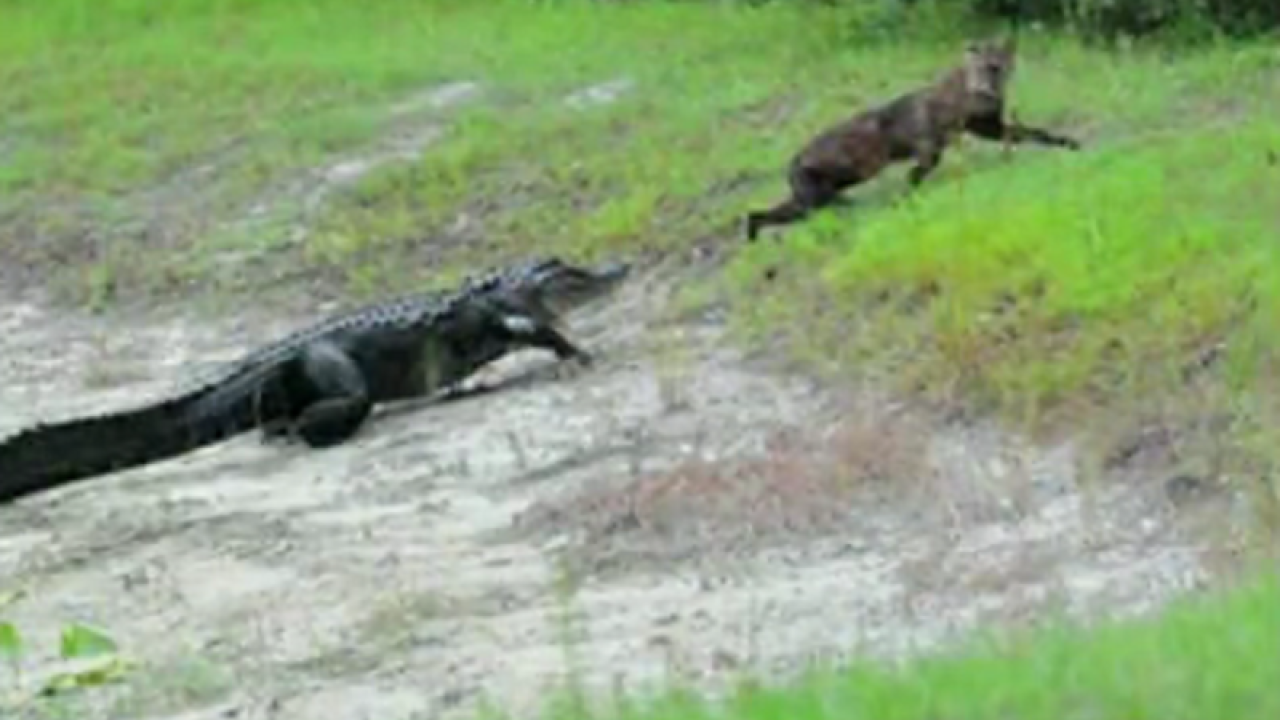 Resident captures pics of alligator hunting bobcat