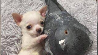 pigeon chihuahua.jpeg