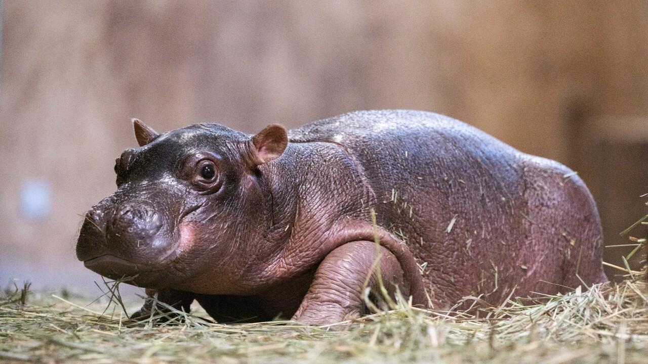 baby hippo chyenne mountain.jpg