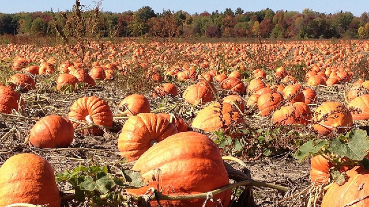 13 Colorado Pumpkin Patches To Go To This Year If You Re Hoping To Carve The Perfect Jack O Lantern