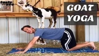 Namaste! Goat yoga makes its way to Tampa Bay