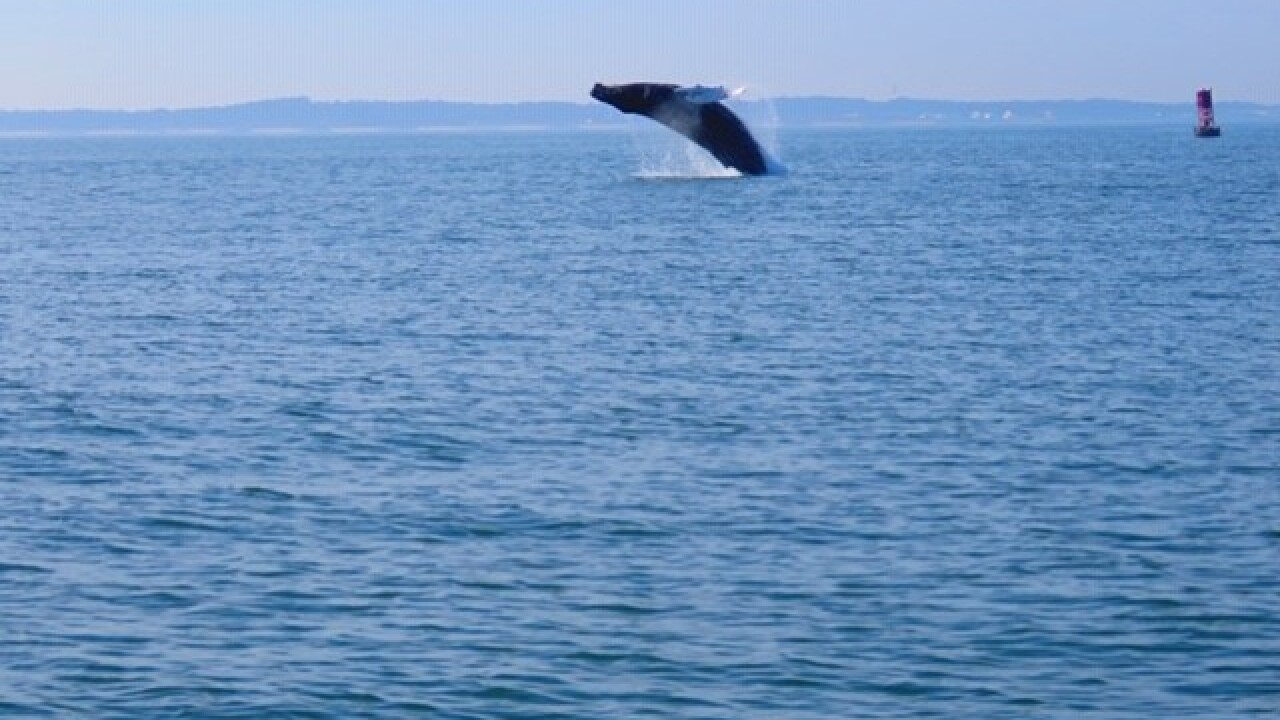 Humpback whales spotted off the coast of Virginia Beach