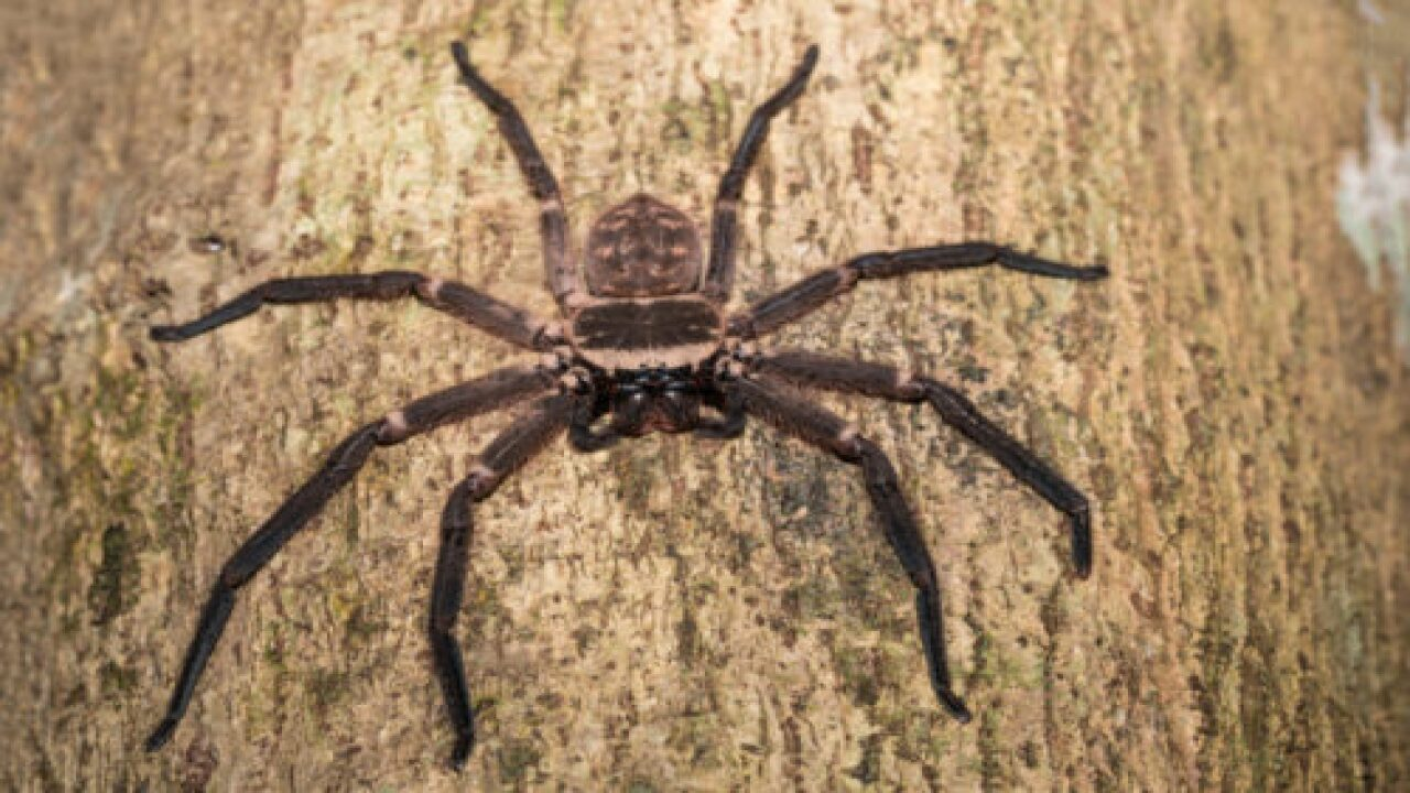 Someone Snapped A Terrifying Photo Of This Spider Eating A Possum In Australia