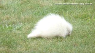 A rare albino porcupine was spotted at a Maine museum and visitors are thrilled
