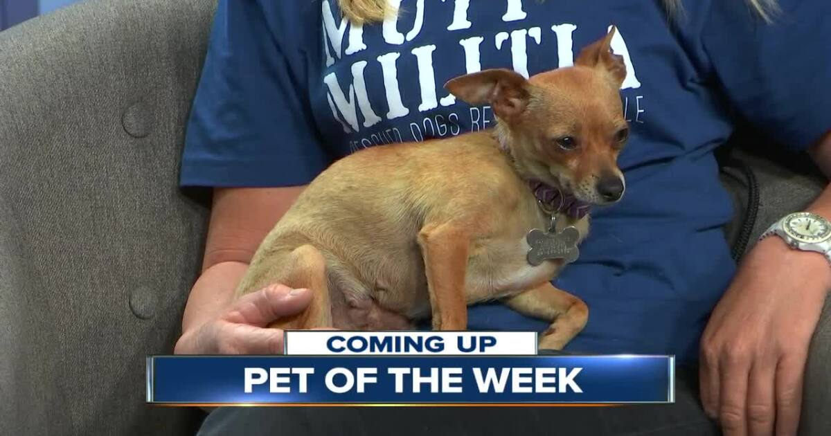 Pet of the Week: Three-year-old chihuahua, Pixie
