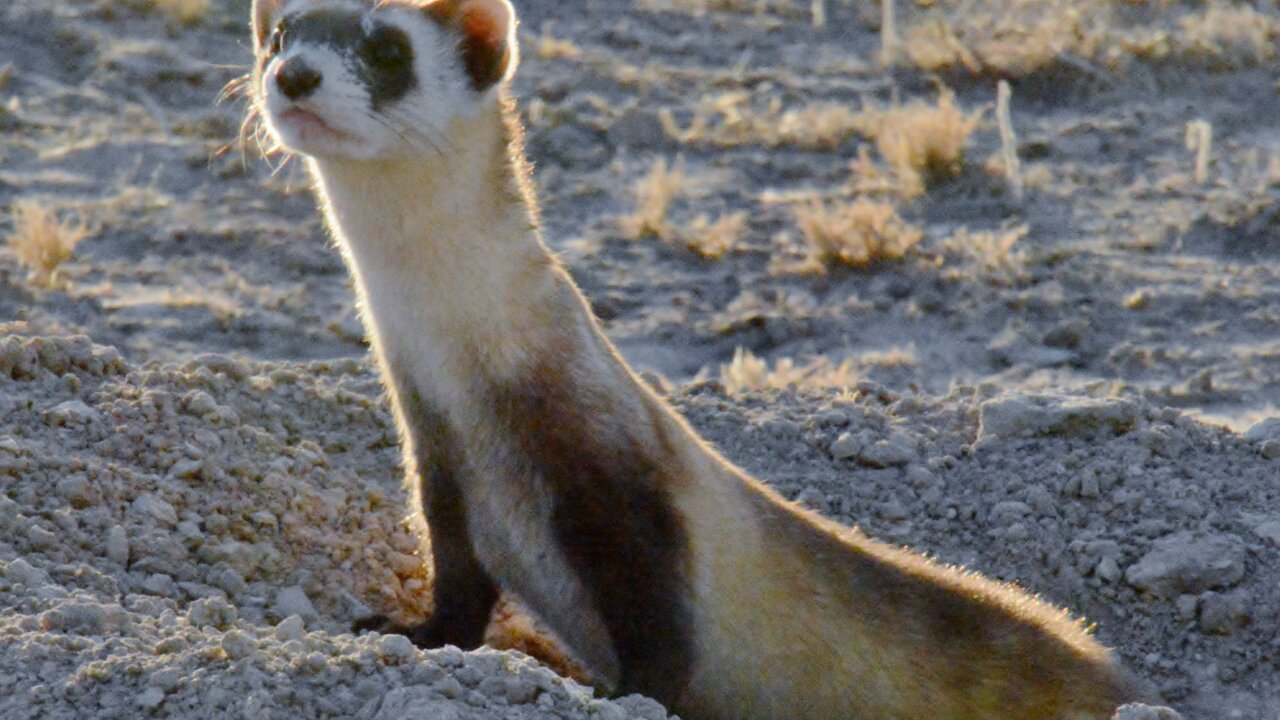 CPW releases 14 endangered black-footed ferrets on Walker Ranch in Pueblo West 2.jpg
