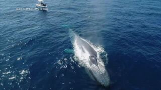 blue whale off san diego coast 6_24_2020