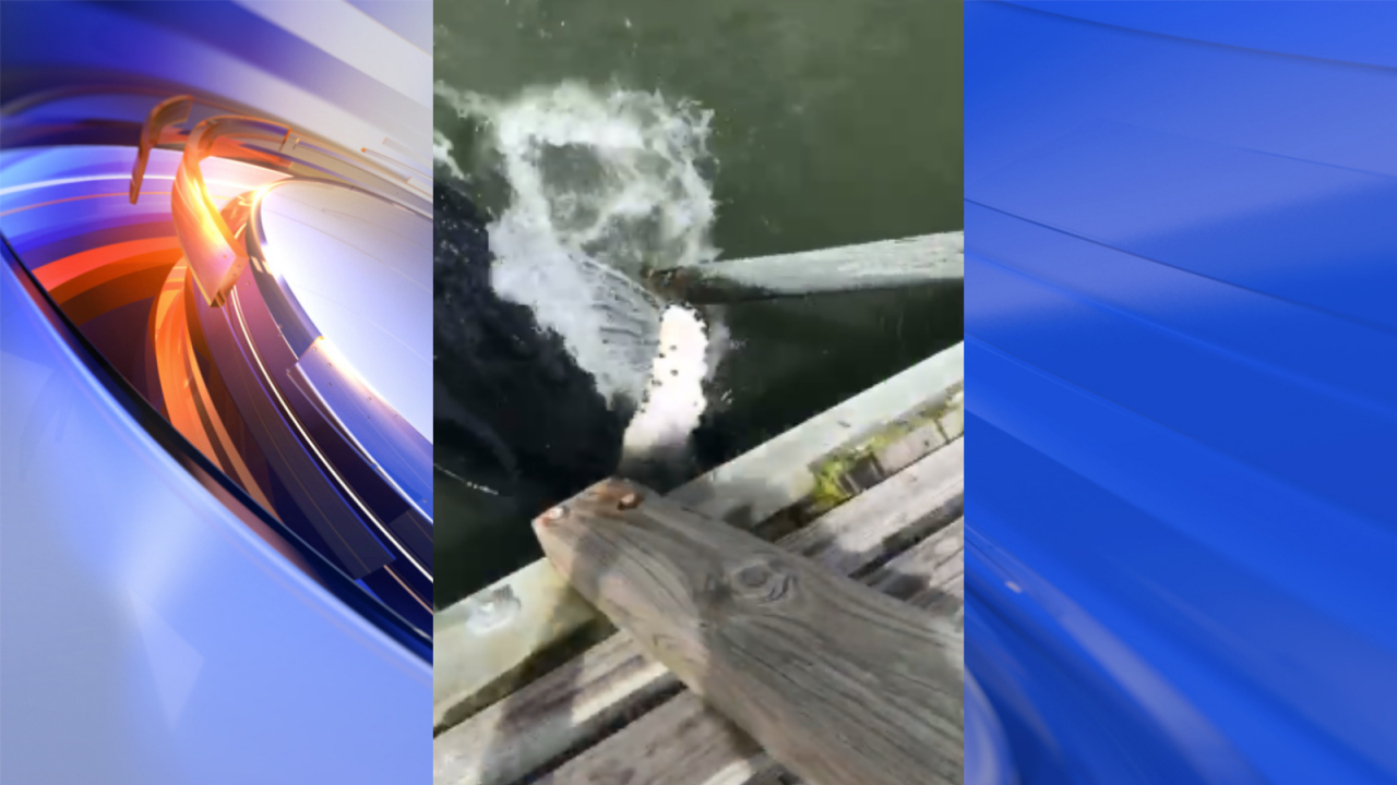 Whale spotted under Avalon Pier in Kill Devil Hills