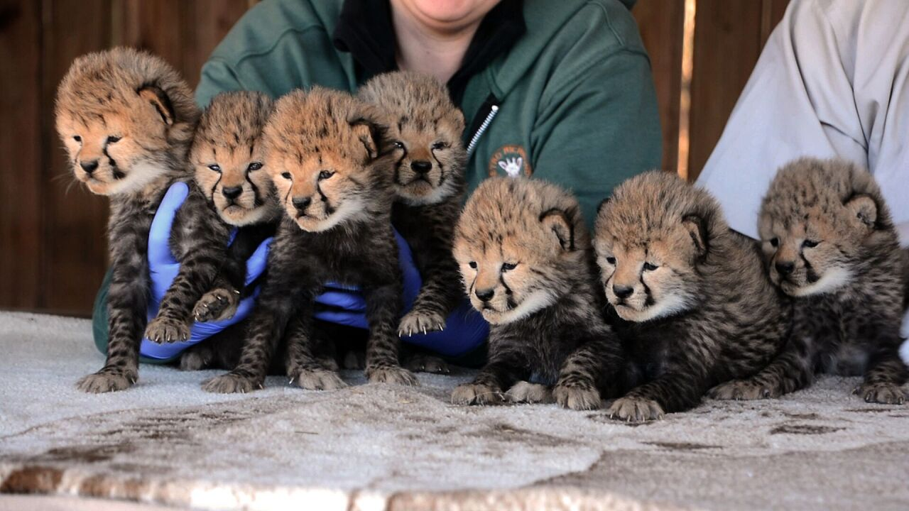 Septuplets! 7 cheetah cubs born at Metro Richmond Zoo