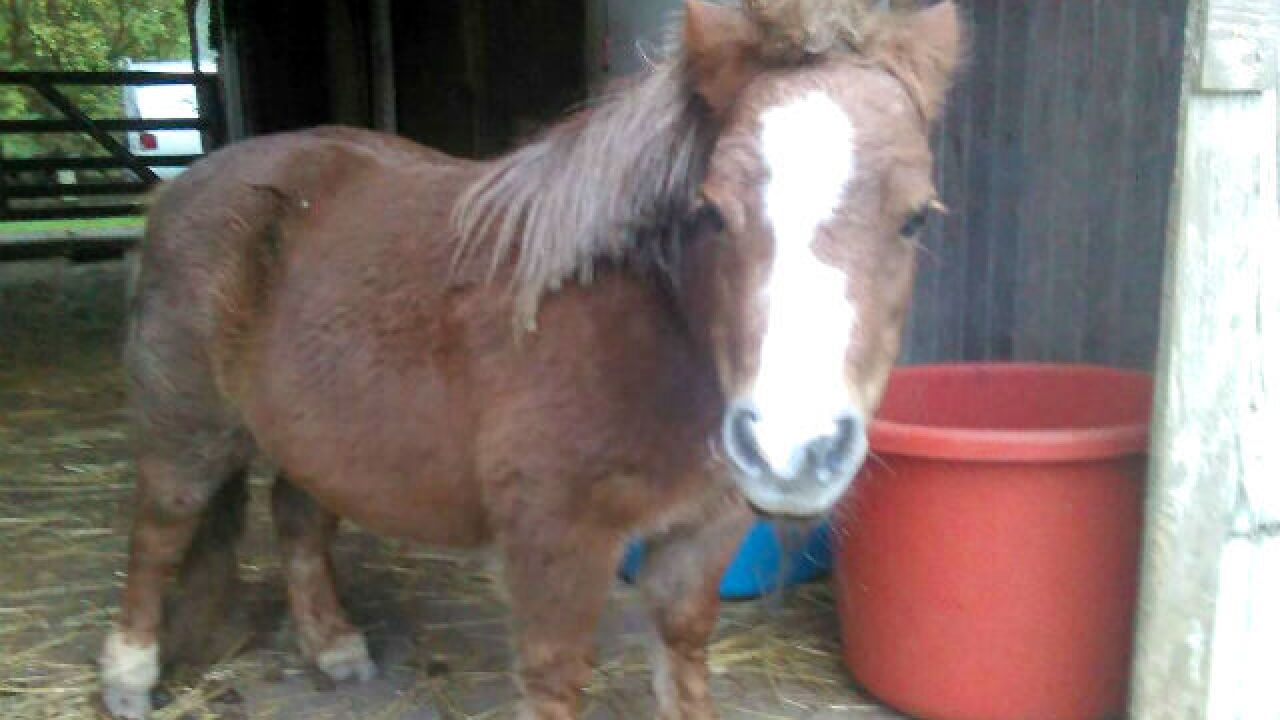 Vicious dogs 'eat' miniature horse, owner says