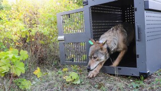 gray wolf protection