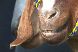 Western Montana Fair kicks off livestock competition
