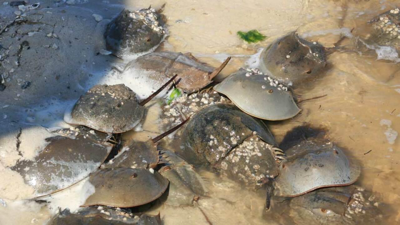 Horseshoe crabs in Cedar Key, Florida (file photo)