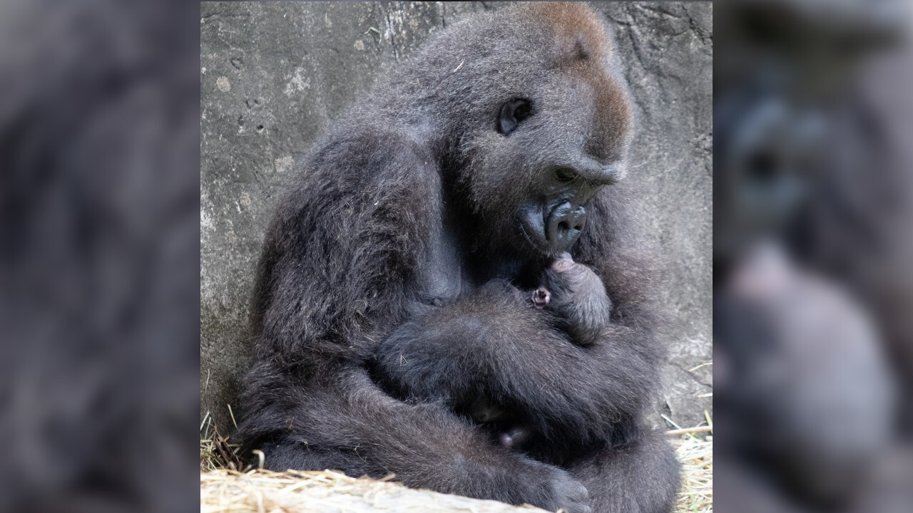 Critically endangered gorilla dies just days after birth at New Orleans zoo