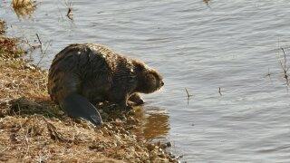 WCPO beaver.jpeg