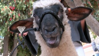 'Swifty Swines' to best in show: Livestock at the San Diego County Fair