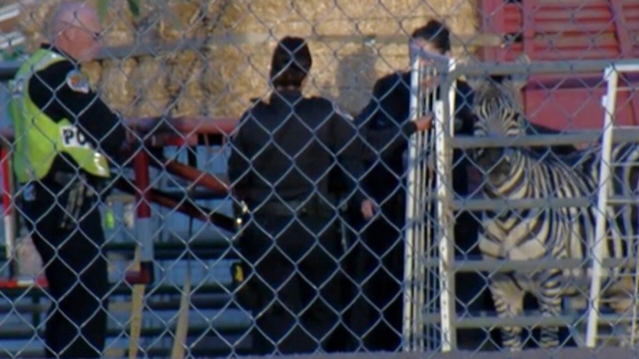 Zebra hit, killed by car in Arizona, police say