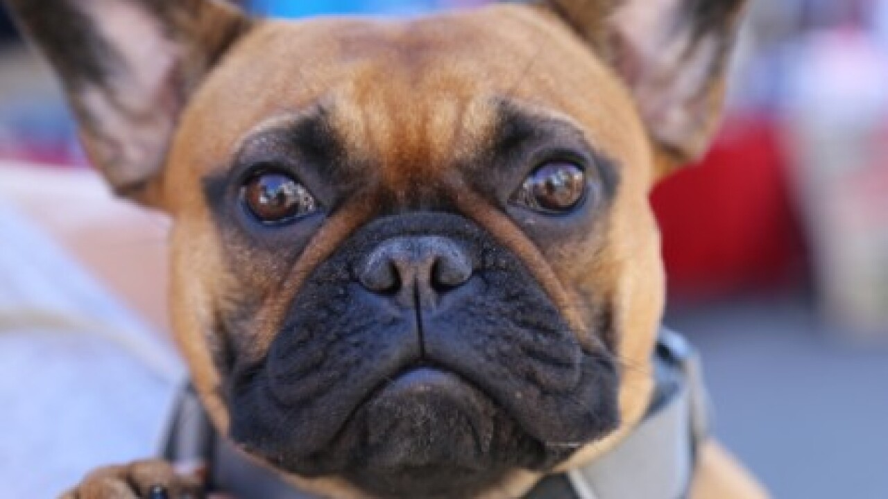 Closeup of French bulldog
