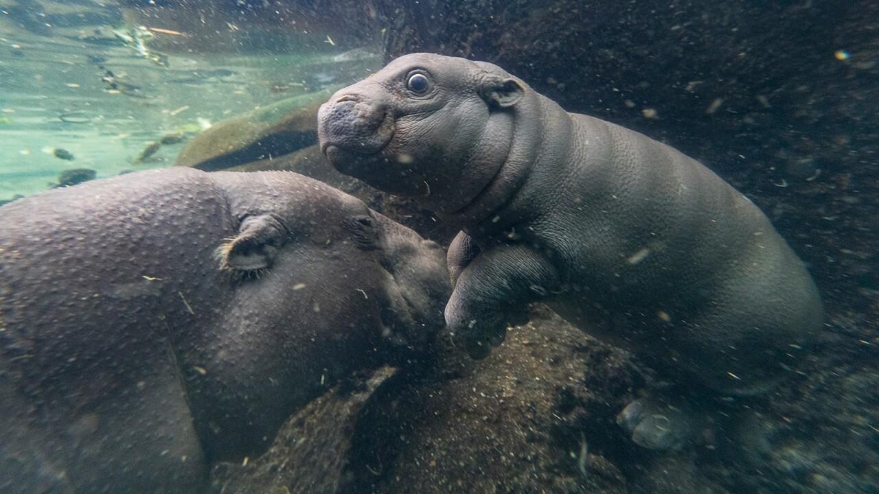 san diego zoo Pygmy Hippo Calf akobi 4