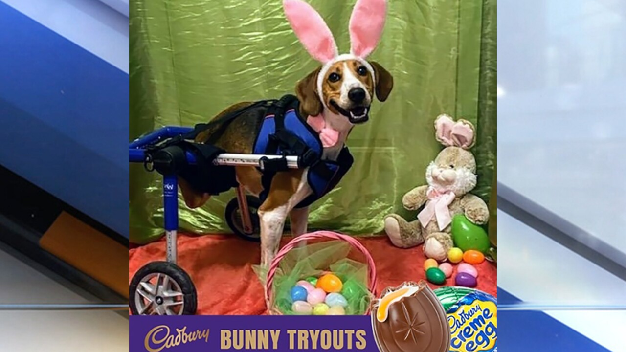 2-legged Ohio dog named Lieutenant Dan crowned 2020 Cadbury Bunny