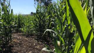 Central Coast Living: Find your way through a giant corn maze in Los Osos