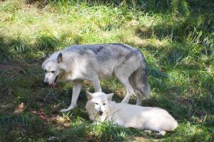 Metro Richmond Zoo wolf exhibit