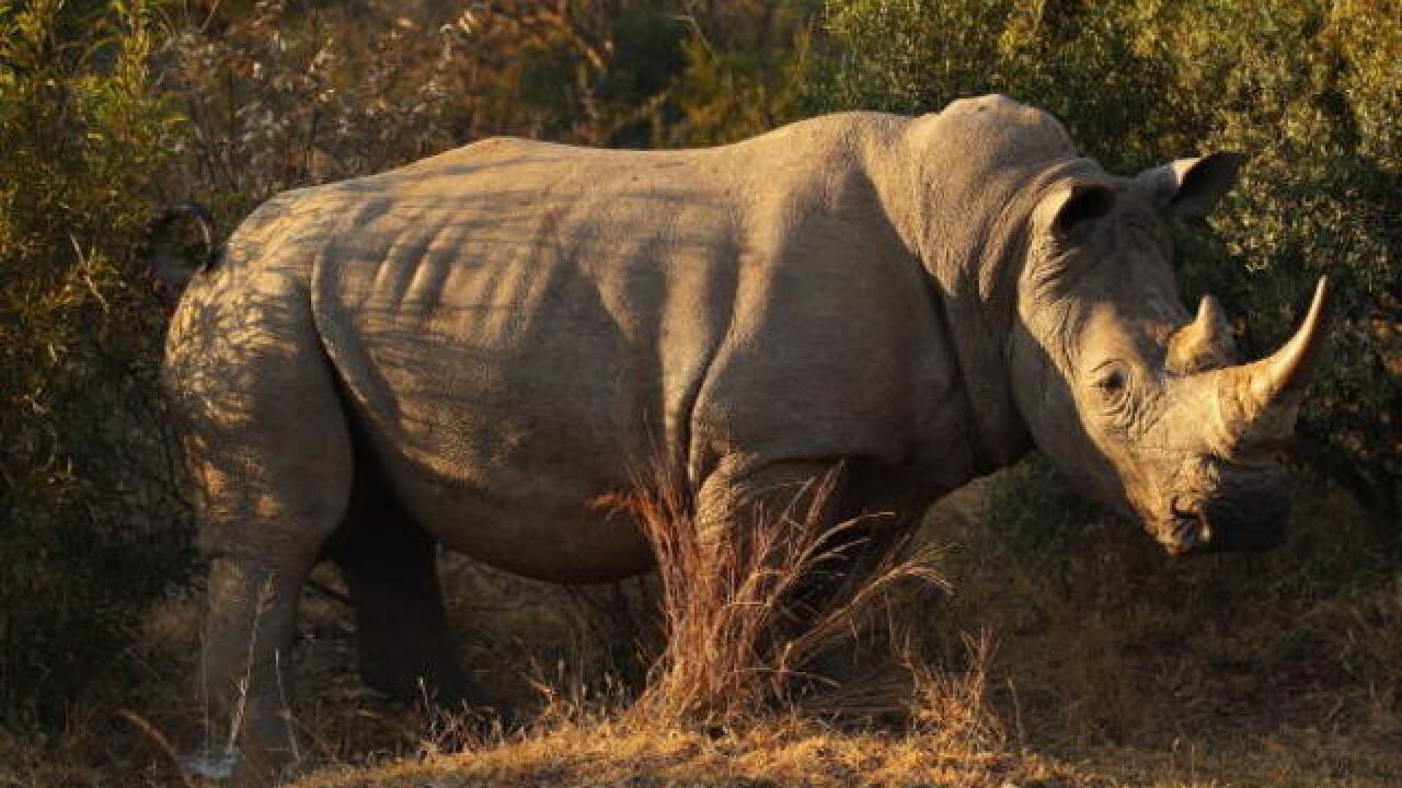Northern White Rhino may have hope, yet