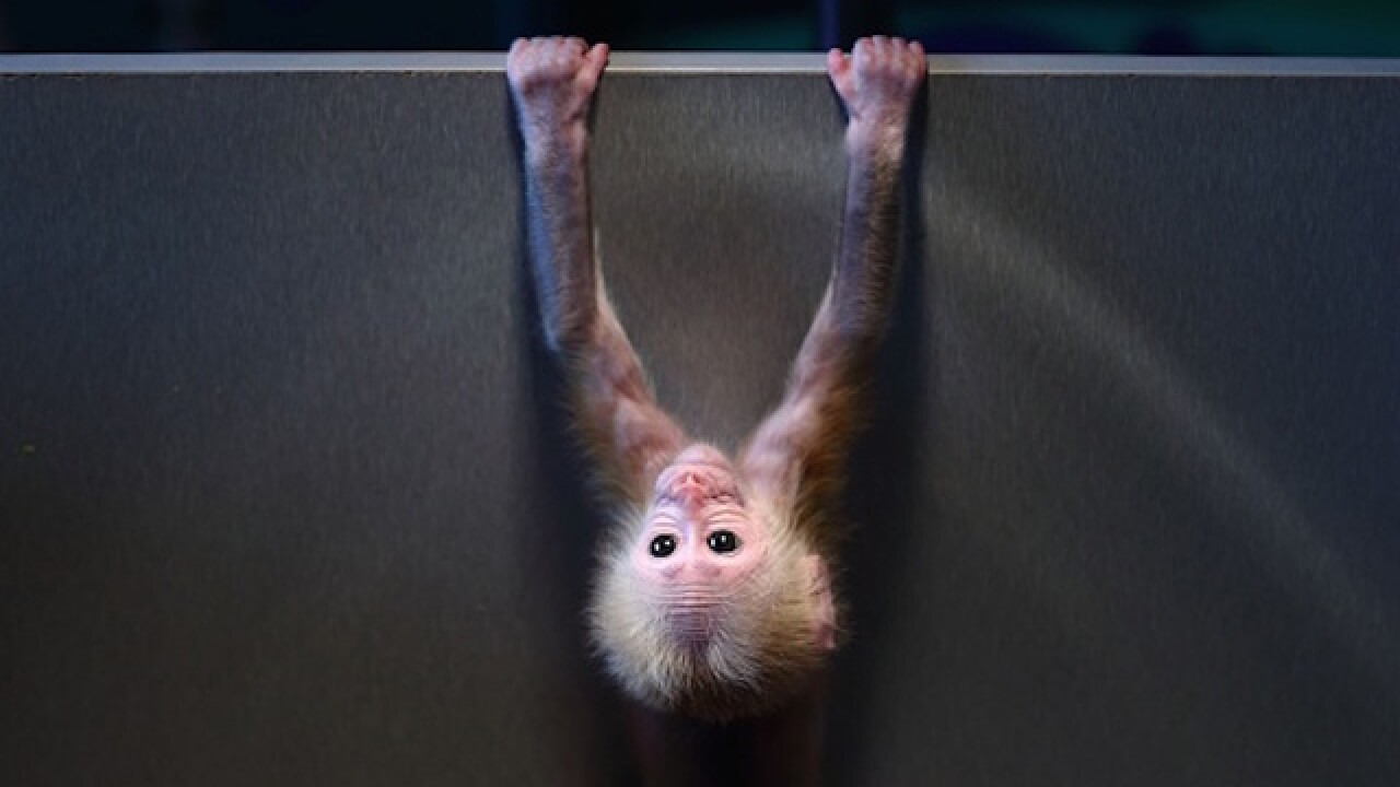 Hidden monkey on Las Vegas-bound flight causes stir