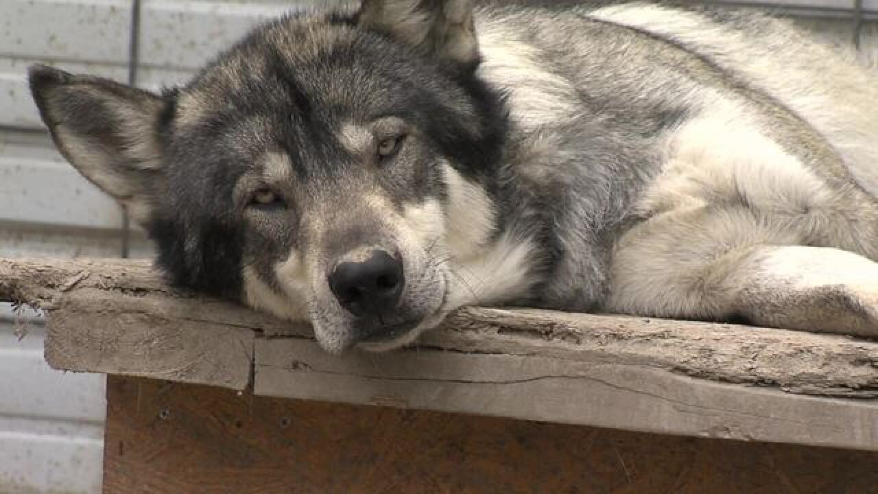PHOTOS: Muncie man wants to keep wolf-dogs