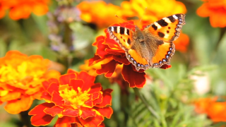 Golf courses are helping the environment — one monarch butterfly habitat at a time