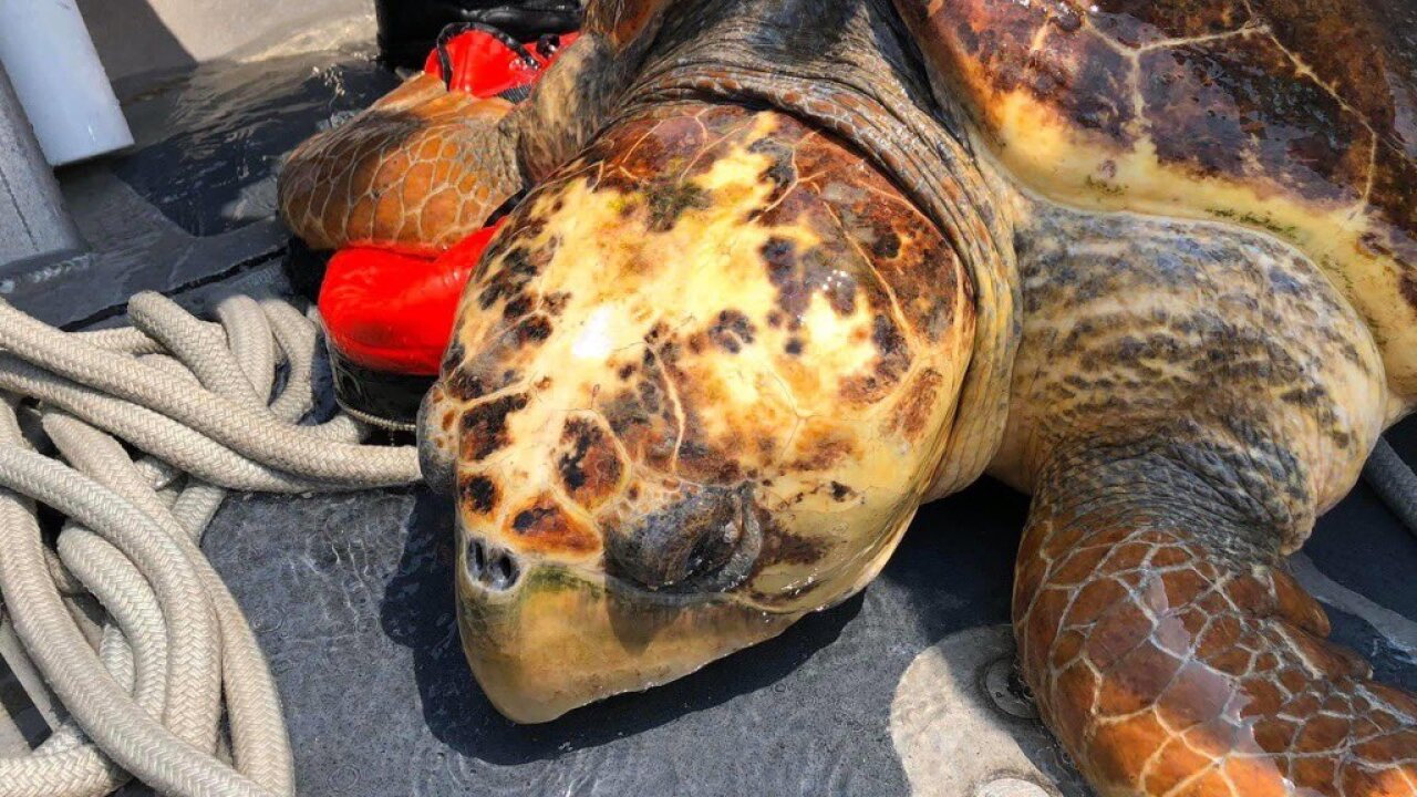 Injured sea turtle rescued in the Florida Keys