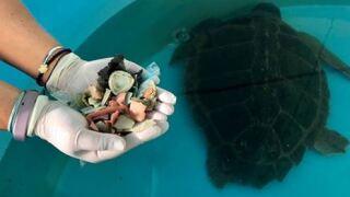 Turtle passes 100 pieces of plastic